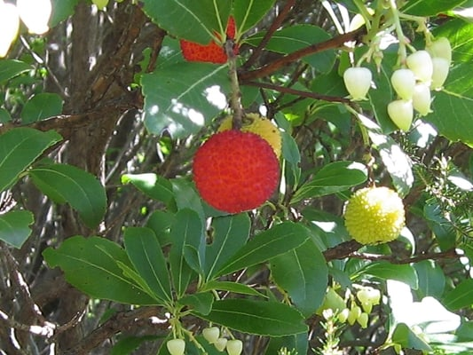 strawberry tree - Walking the Garrigue & Nîmes