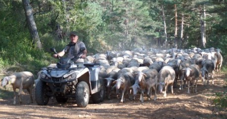 Farmer on a quad-bike leading a flock of sheep