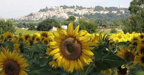 Walking France's Garrigue-Sunflowers At Vezenobres