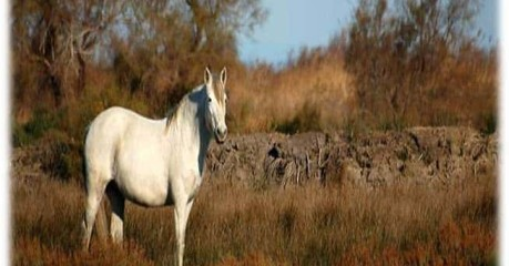 Self-Guided Walking Tours In France:hiking Camargue - Camargue Horse
